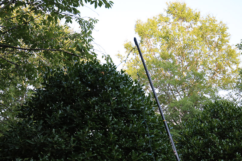 Pole in Holly Tree